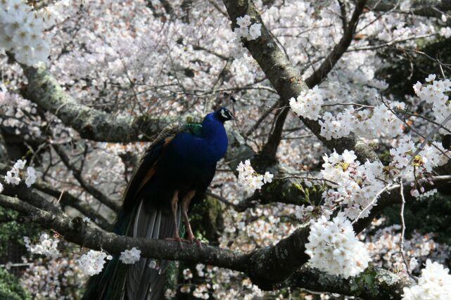 雨引山楽法寺の桜