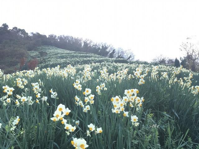 1/12,13は「初春水仙花祭り」